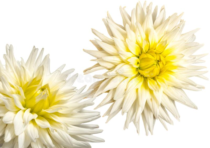 Arty white dahlias. Closeup view of two dahlias in full bloom on a White background stock photos
