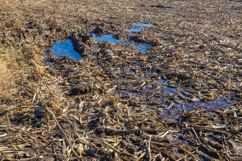 Waterlogged post harvest corn field showing broken stalks, stumps and husks royalty free stock image