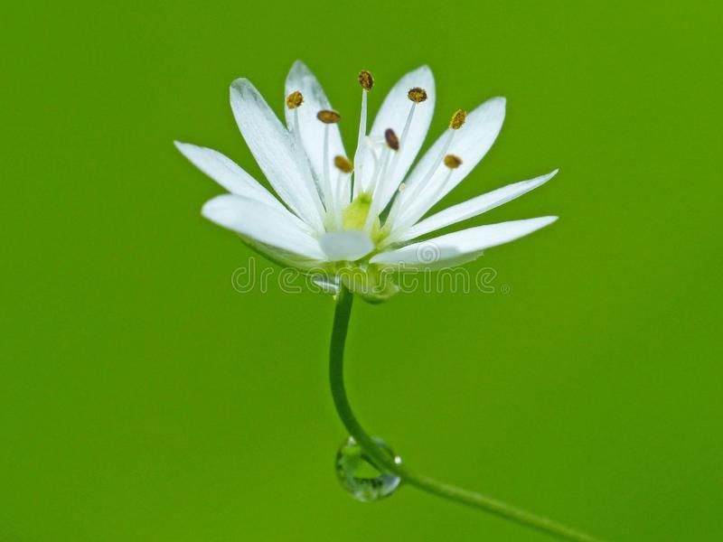 White Flower With Dew Drop On Stem royalty free stock image