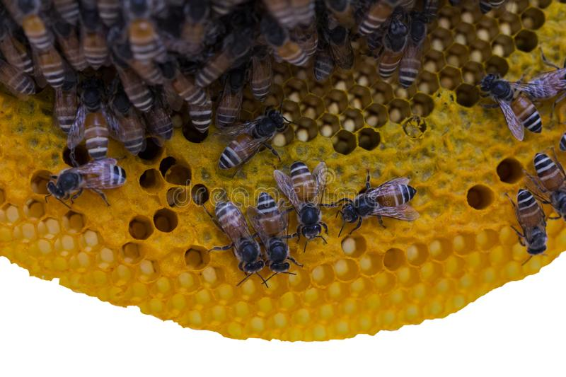 Closeup view of the working bees on honeycomb, Honey cells pattern isolated on white background. stock image