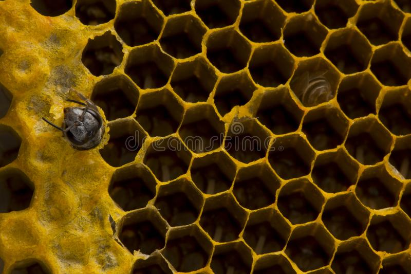 Closeup view of the working bees on honeycomb, Honey cells pattern, BeekeepingHoneycomb texture. Closeup view of the working bees on honeycomb, Honey cells royalty free stock image