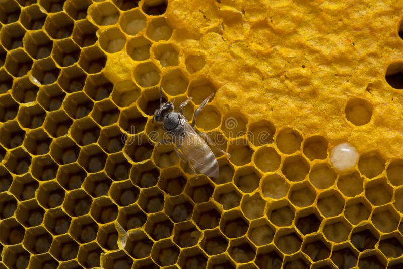 Closeup view of the working bees on honeycomb, Honey cells pattern, BeekeepingHoneycomb texture. Closeup view of the working bees on honeycomb, Honey cells royalty free stock photography