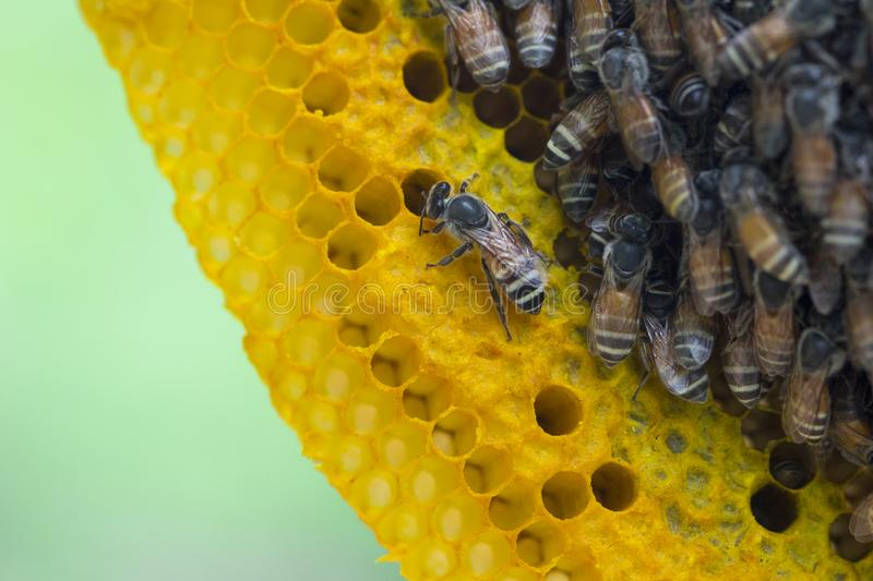Closeup view of the working bees on honeycomb, Honey cells pattern, BeekeepingHoneycomb texture. Closeup view of the working bees on honeycomb, Honey cells stock photography