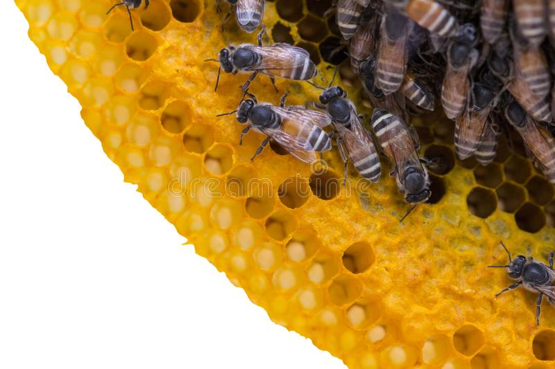 Closeup view of the working bees on honeycomb, Honey cells pattern isolated on white background. royalty free stock photo