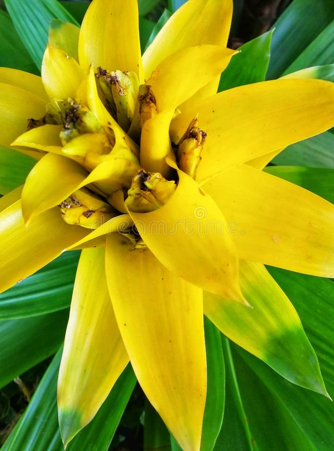 Closeup view of yellow flower known as Scarlet Stars at the Botanical Garden. Nature royalty free stock photos