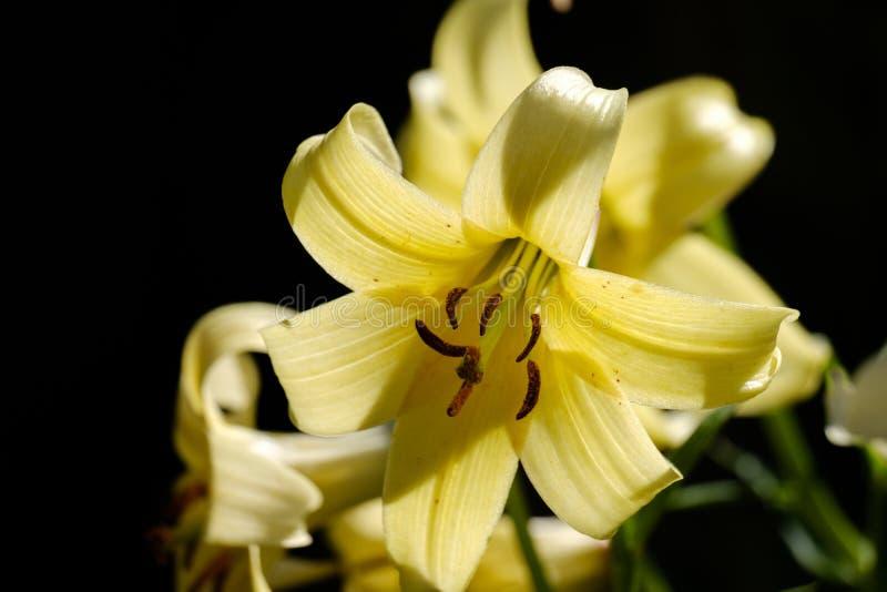 Closeup view on yellow flower of Lilium Kesselringianum stock photos