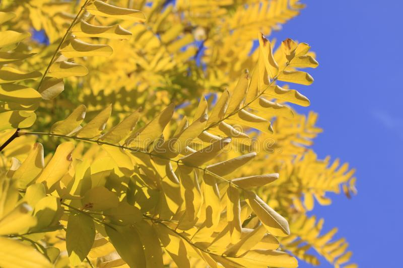 Yellow leaves and blue sky stock photos
