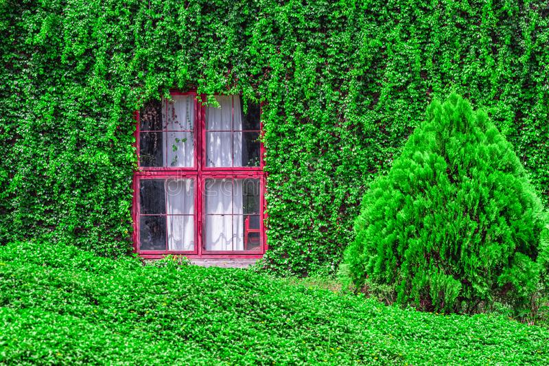 Closeup of Vintage House Covered by Green Ivy climbing plant. Red window with Coatbuttons plant wall among green nature background stock image