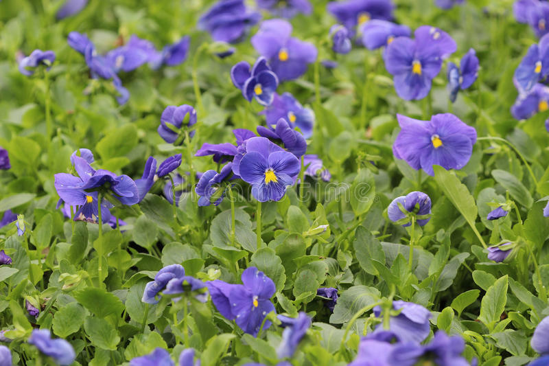Closeup of violas or pansies at flower bed. The closeup of violas or pansies at flower bed stock photo