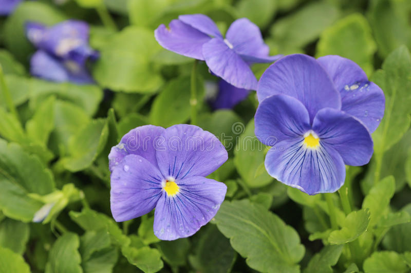 Closeup of violas or pansies at flower bed. The closeup of violas or pansies at flower bed royalty free stock photography