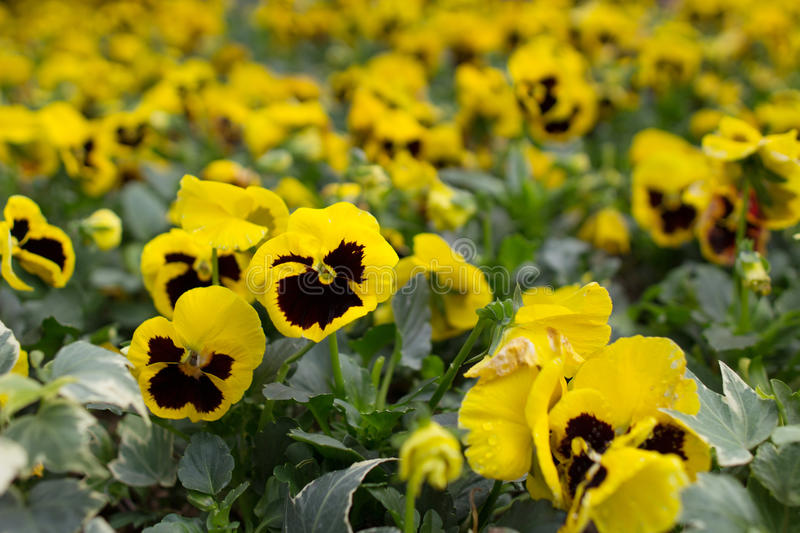 Closeup of violas or pansies at flower bed. The closeup of violas or pansies at flower bed royalty free stock photo