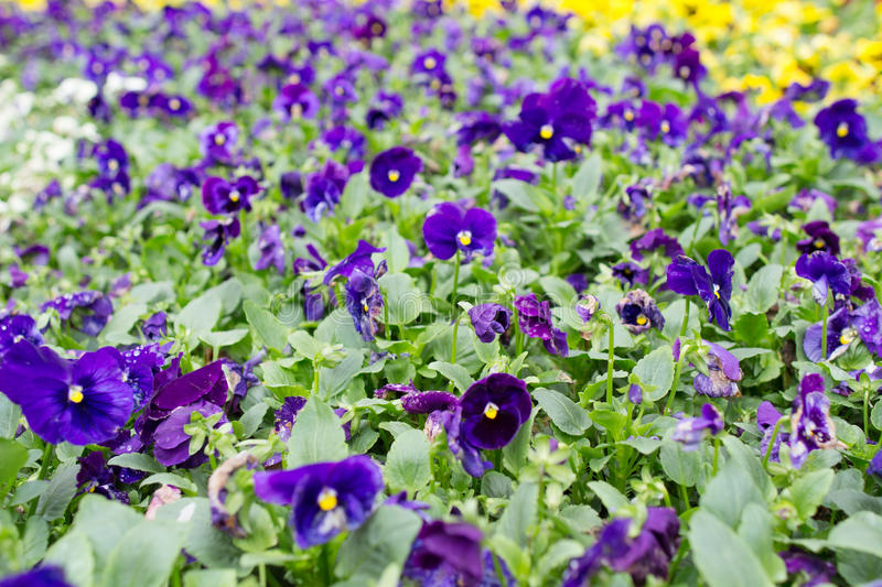 Closeup of violas or pansies at flower bed. The closeup of violas or pansies at flower bed stock images
