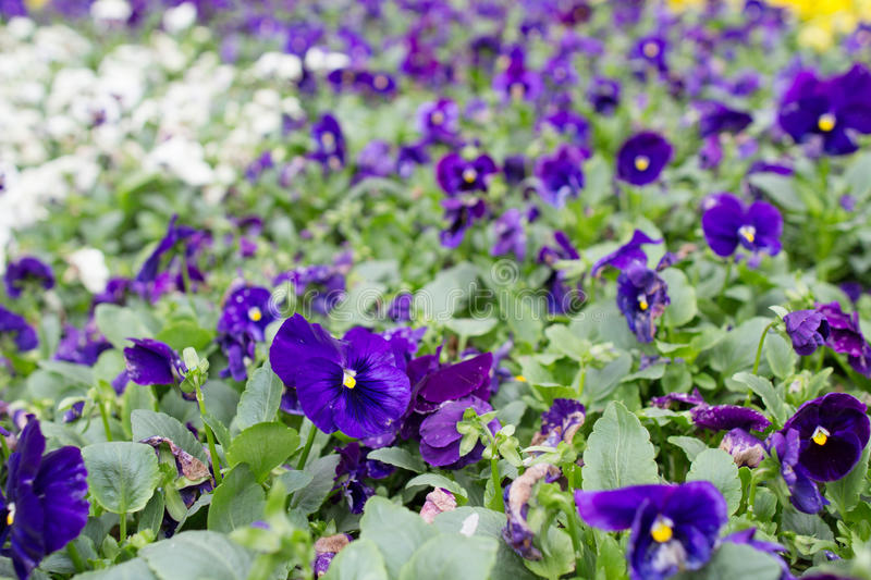 Closeup of violas or pansies at flower bed. The closeup of violas or pansies at flower bed stock photos