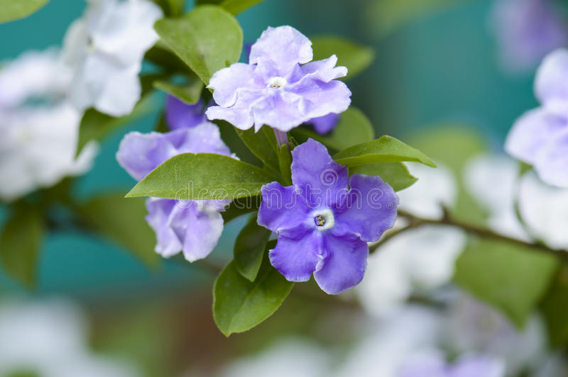 Closeup of violet brunfelsia jasmine flower stock images