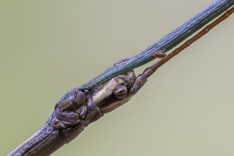 Closeup of a Walking Stick with a mite attached stock photography