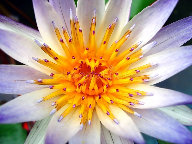 Closeup of a Water Lily royalty free stock photos