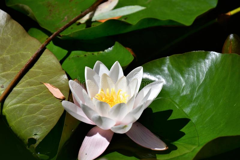 A closeup of water lily in the pond. royalty free stock images