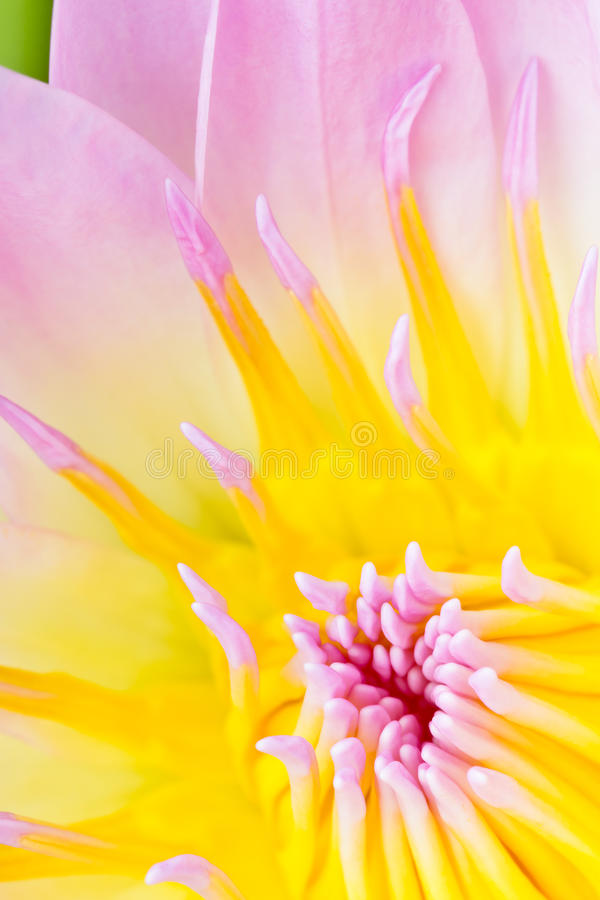 Closeup waterlily flower. Closeup of center of a pink and yellow waterlily flower stock photography