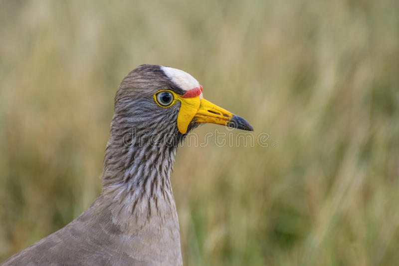 Closeup of wattled plover or Lapwing. Head of wattled plover or lapwing closeup in grass royalty free stock image