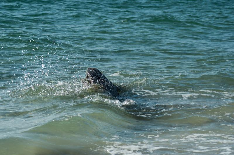 wave splash on rocks in border ocean in Quiberon - Britain - France royalty free stock image