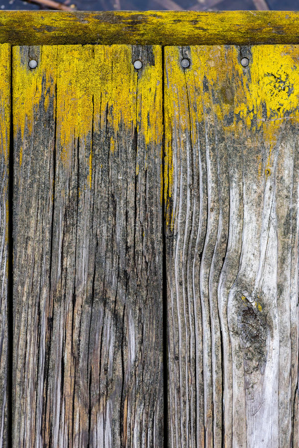 Closeup of weathered wood boards with bright yellow moss stock photo