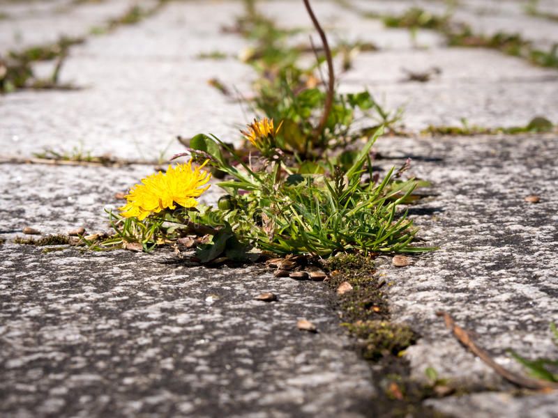 Closeup of weeds growing and sprouting between gaps on courtyard royalty free stock photos