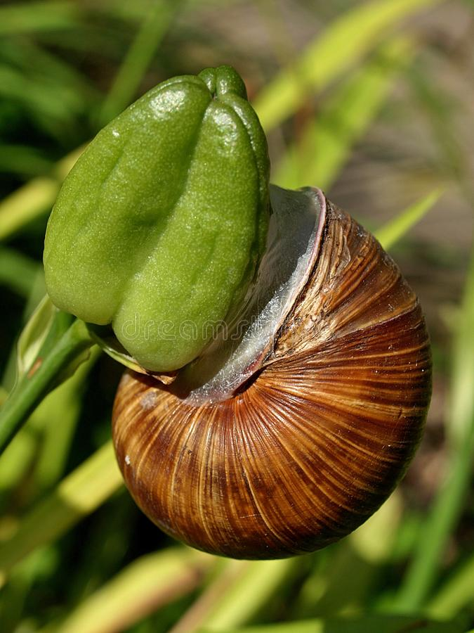 Closeup of a Weinberg snail. Macro of a Weinberg snail stock photography