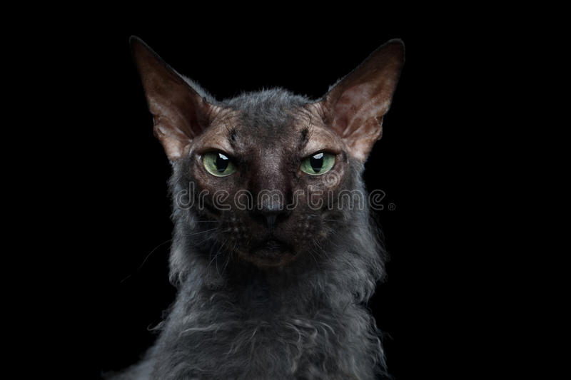 Closeup Werewolf Sphynx Cat Angry Looking in Camera Black stock photo