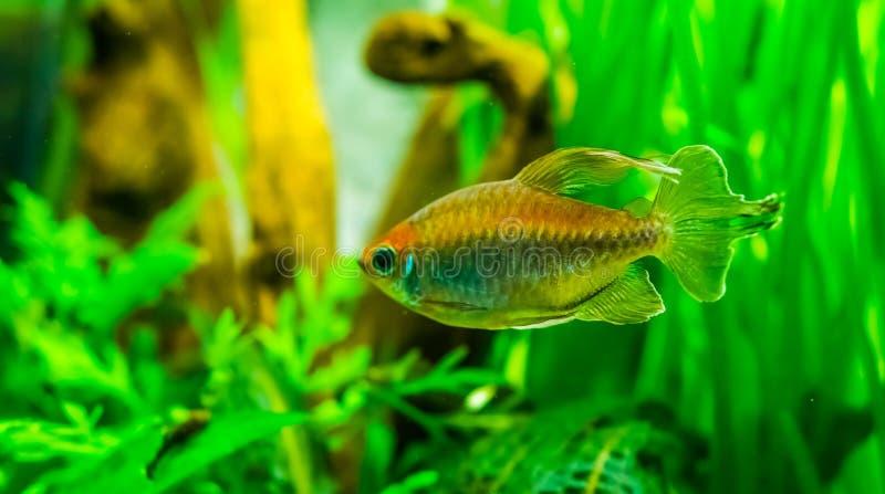 Closeup of a west african salmon, colorful ornamental fish, popular aquarium pet. A closeup of a west african salmon, colorful ornamental fish, popular aquarium royalty free stock photos