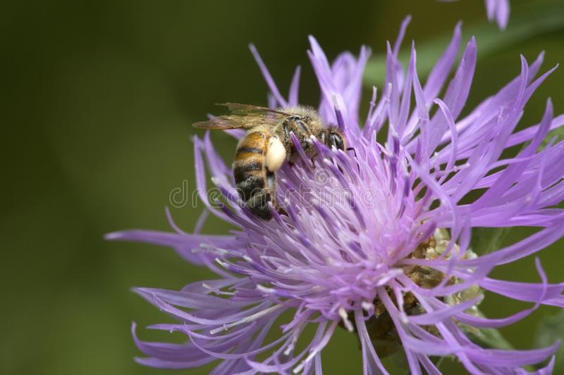 Western honey bee pollinator foraging on a bergamot flower. Closeup of a Western honey bee pollinator, Apis mellifera, with a full pollen basket on a lavender royalty free stock photography