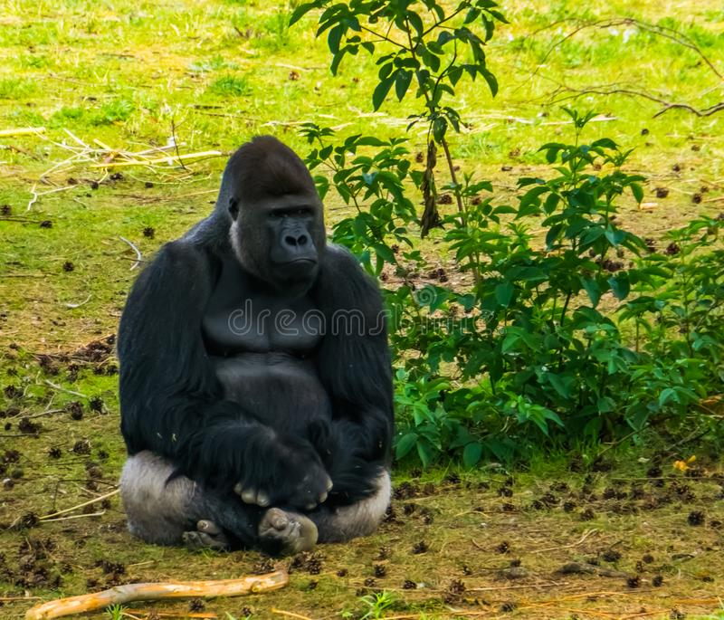 Closeup of western lowland gorilla sitting in the grass, critically endangered primate specie from Africa royalty free stock photography