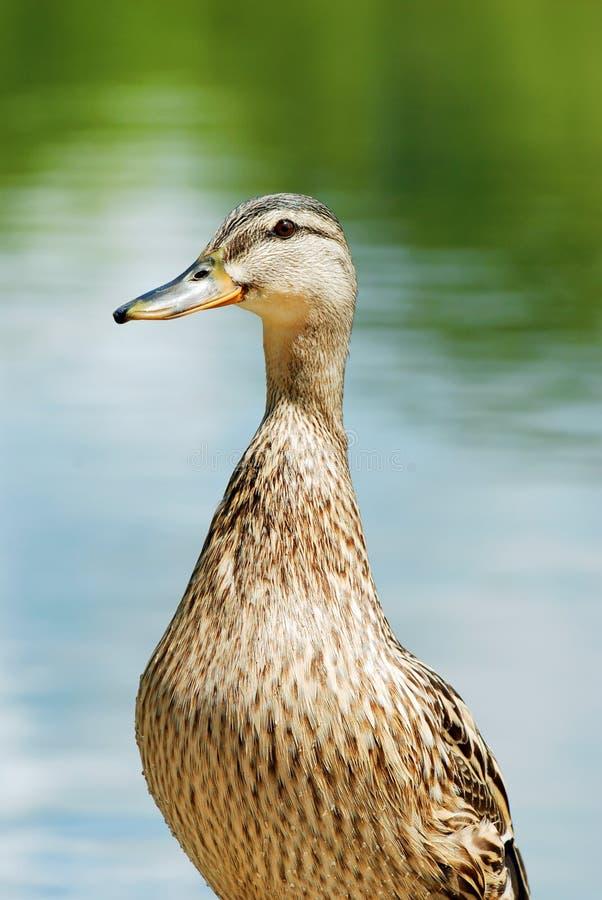 Closeup of a wet black duck