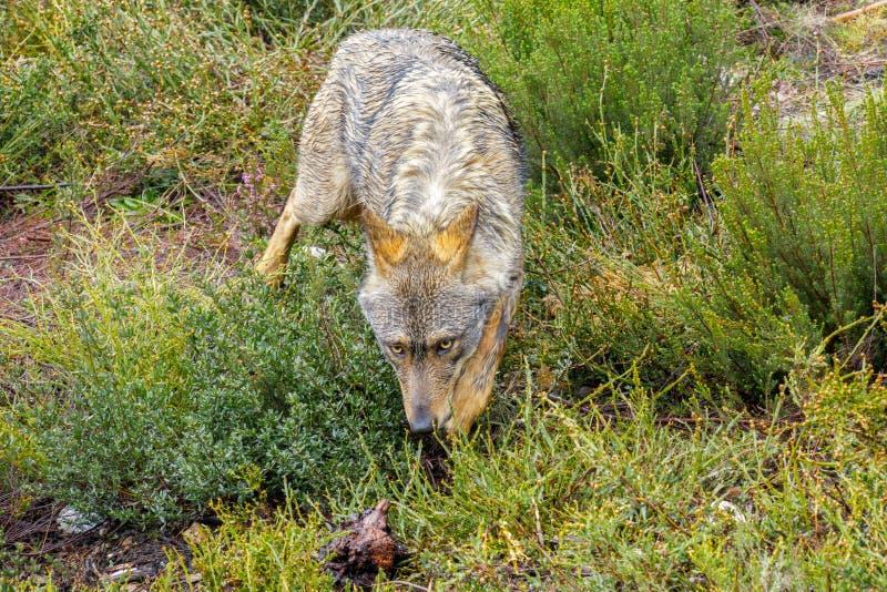 Closeup of wet Canis Lupus Signatus sniffing stock images