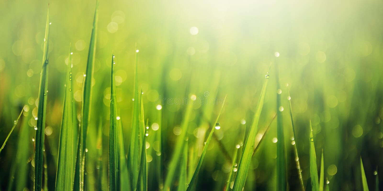 Closeup of wet meadow with dew drops in the morning. royalty free stock image