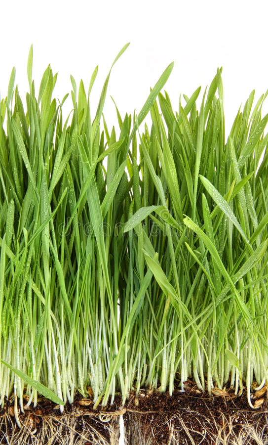 Closeup of wheatgrass on white. Background royalty free stock images