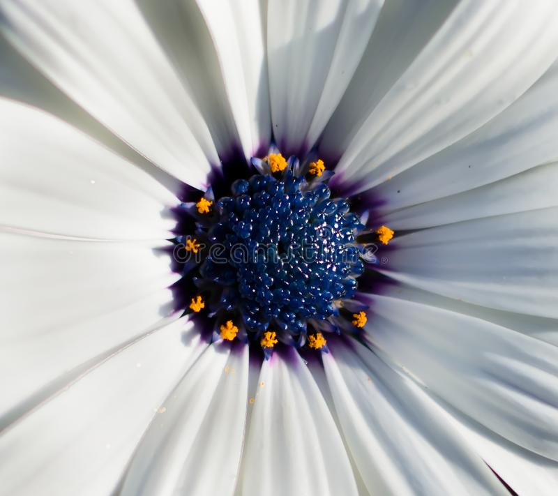 Closeup of white African daisy or Cape Daisy Osteospermum core, top view. Flower core with elegant pure white petals which are offset by deep blue to purple stock photos