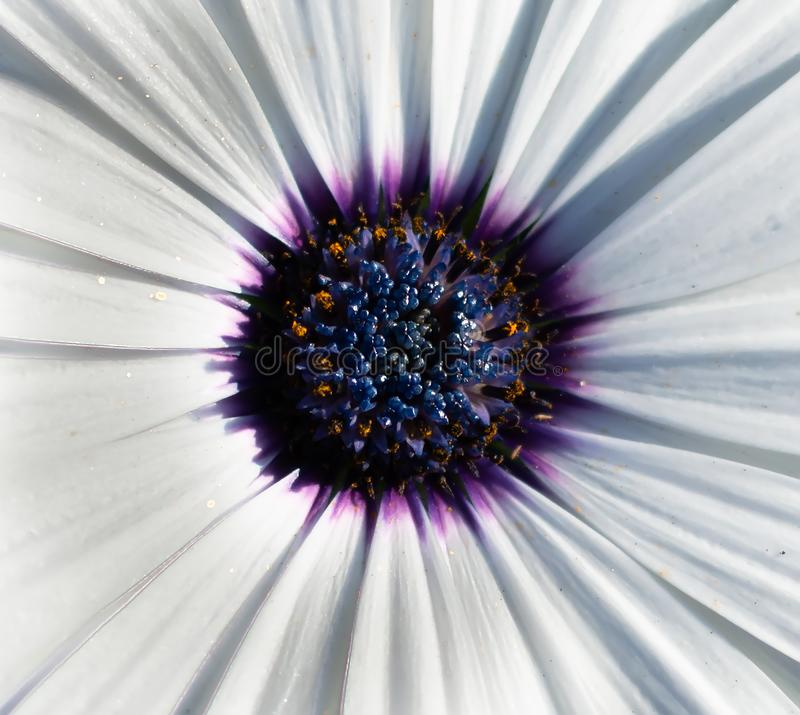 Closeup of white African daisy or Cape Daisy Osteospermum core, top view. Flower core with elegant pure white petals which are offset by deep blue to purple stock photography