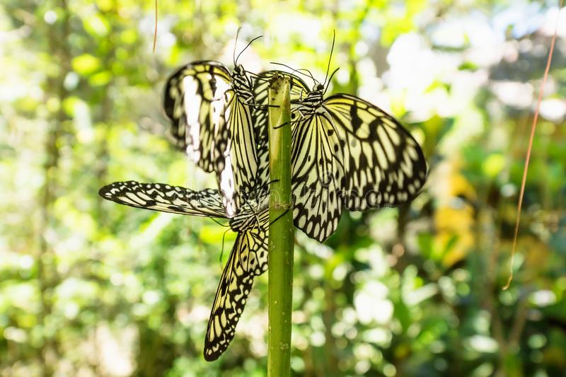 Closeup of White black butterflies shined by sunlight in Bohol, Philippines, Asia royalty free stock photos