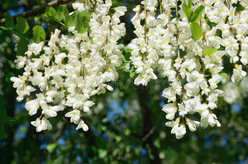 White blooming bunches of acacia in spring. royalty free stock photos