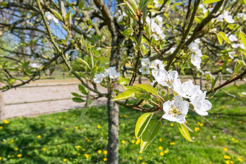 Closeup of white blossoms on an apple tree in spring royalty free stock photography