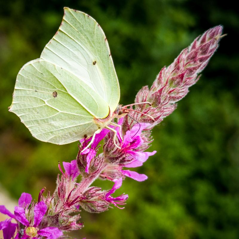 Closeup of a White Butterfly on a Pink Flower in The Forest. A butterfly landed on a flower to collect nectar in the spring in forest. Butterflies like to perch royalty free stock photos