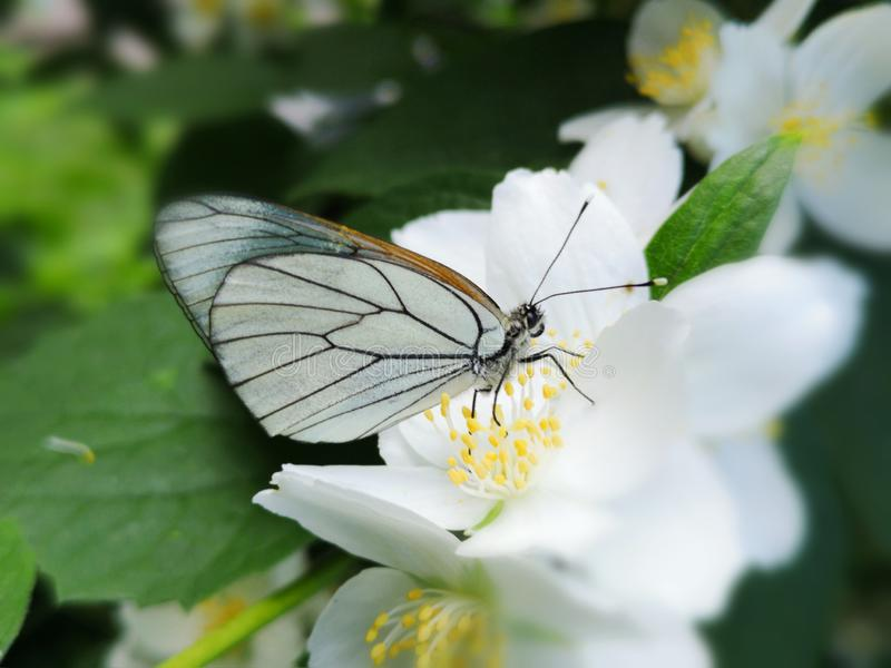 Closeup of a White Butterfly on a White Flower royalty free stock image