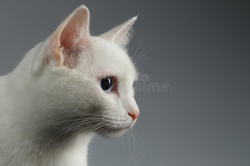 Closeup White cat with blue eye in Profile on gray stock image