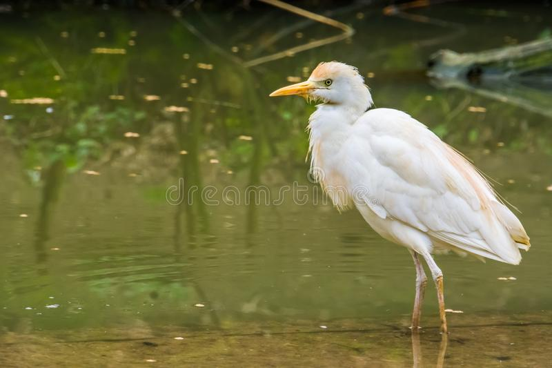 Closeup of a white cattle egret standing in the water, well spread bird across the globe. A closeup of a white cattle egret standing in the water, well spread stock photo