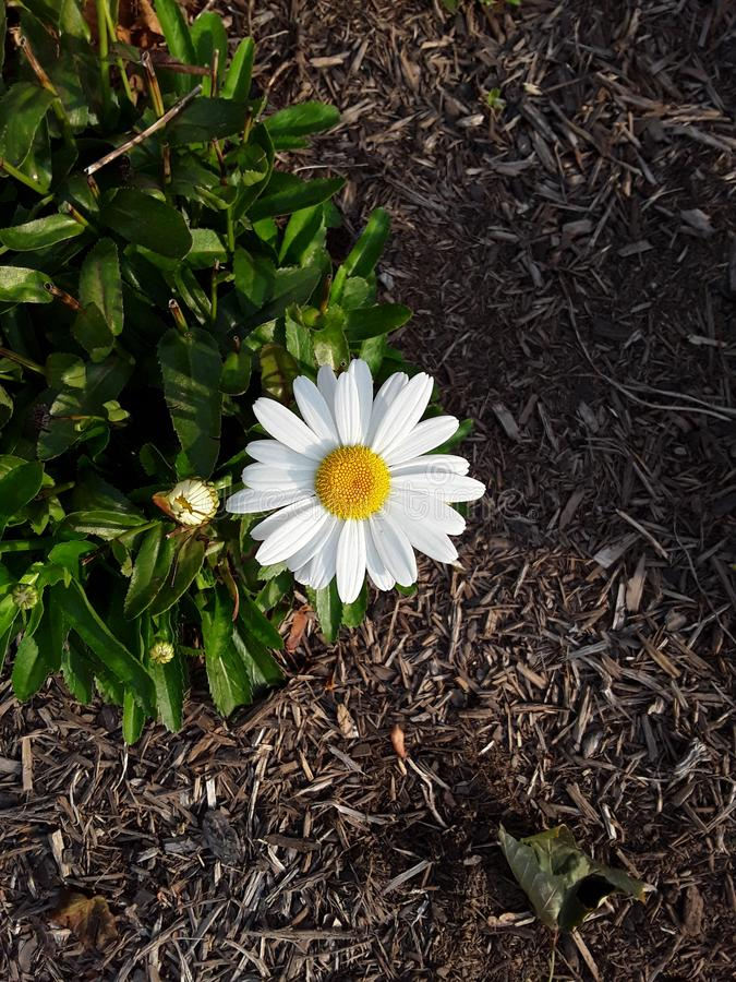A closeup of a white daisy royalty free stock images