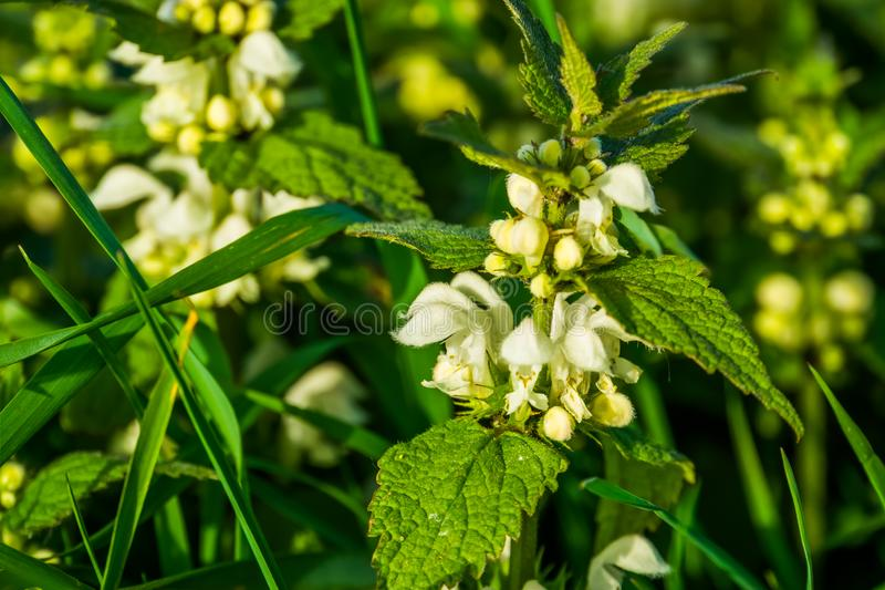 Closeup of a white dead nettle blooming in the fields, common wild plant specie from Eurasia royalty free stock photography
