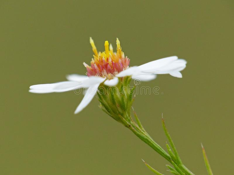 White Flower With Yellow And Red Center royalty free stock photography