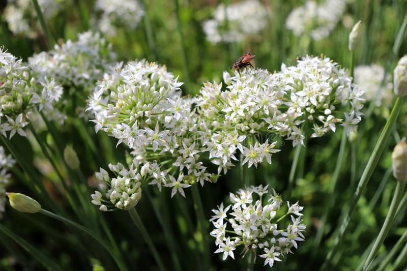 Closeup of white flowers of the garlic chives Allium tuberosum . Medicinal plants, herbs in the organic garden . Blurred stock photo