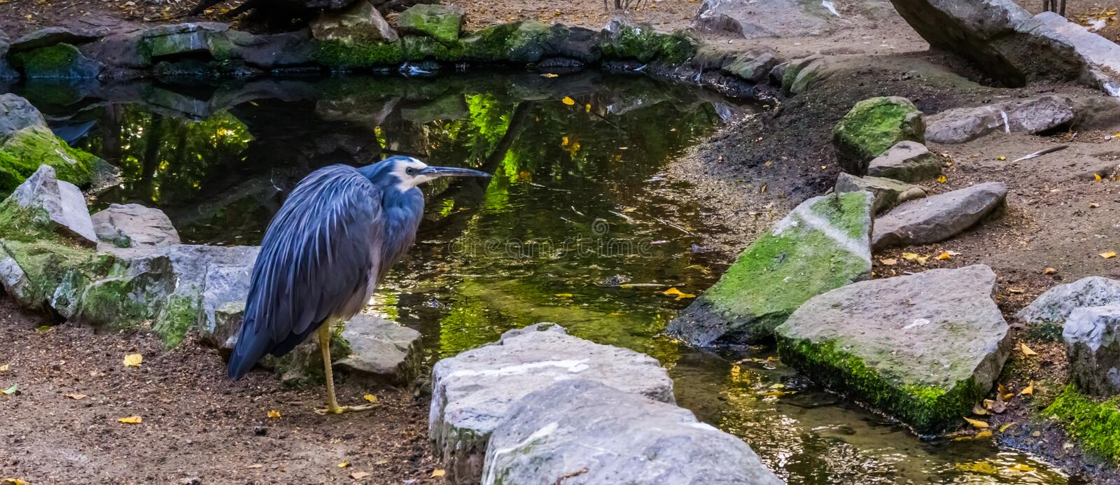 Closeup of a white fronted heron, bird with blue plumage and white head, tropical egret from Australia. A closeup of a white fronted heron, bird with blue royalty free stock image