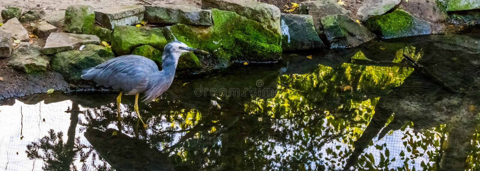 Closeup of a white fronted heron walking in the water, tropical coastal bird from Australia. A closeup of a white fronted heron walking in the water, tropical royalty free stock photo